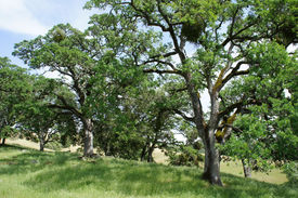 oak trees on a grassy hillside