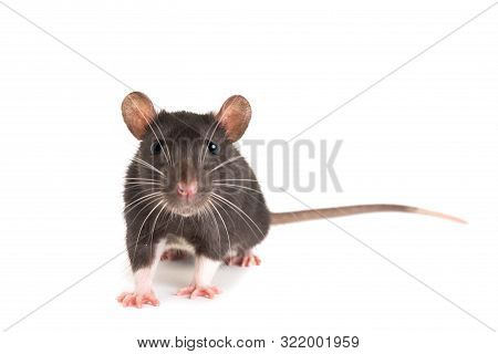 A Gray Rat, With A Long Mustache, Looks Directly Into The Frame.