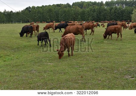 Cows Volyn Meat, Limousine, Abordin.rural Composition. Cows Grazing In The Meadow. A Series Of Photo