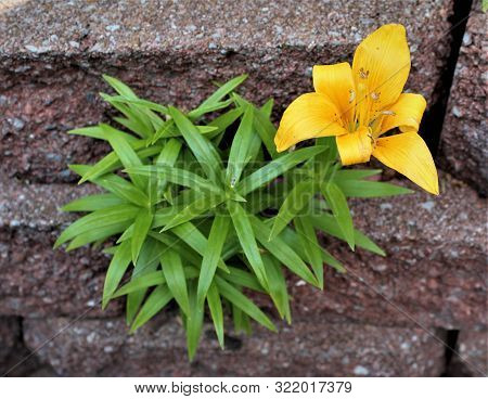 A Lone, Yellow Lily Grows Between The Cracks Of Red Landscaping Blocks.