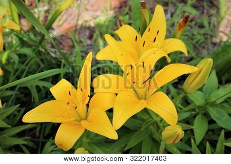 A Trio Of Yellow Lilies Against A Backdrop Of Greenery On A Warm Summer Day.