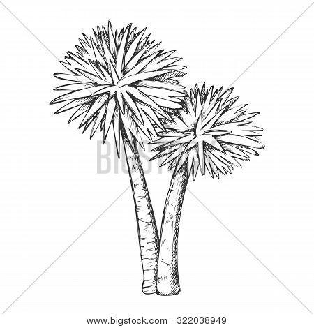 Sabal Palm Exotic Tropical Trees Monochrome Vector. Seashore Large Palm Cocos Nucifera. Warm Climate