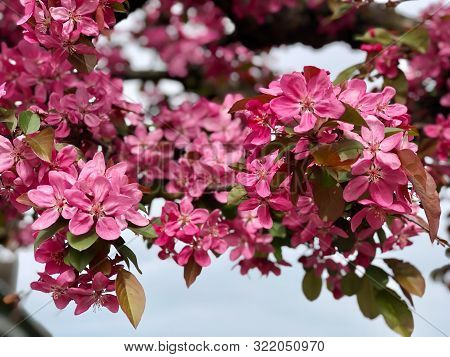 Pink Apple Flowers On Tree
