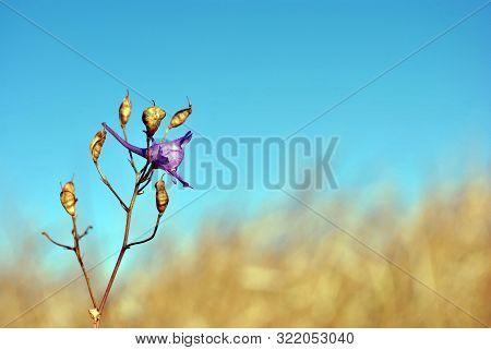 Consolida Regalis (forking Larkspur, Rocket-larkspur, Field Larkspur) Blooming Flower And Ripe Seed