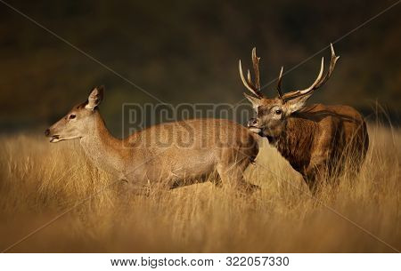 Close Up Of A Red Deer Stag Chasing A Hind During The Rutting Season, Autumn In Uk.