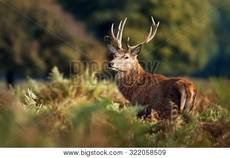 Close Up Of A Red Deer (cervus Elaphus) Stag With Grass On Antlers During Rutting Season In Autumn,