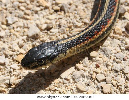 Head of a Red Sided Garter Snake