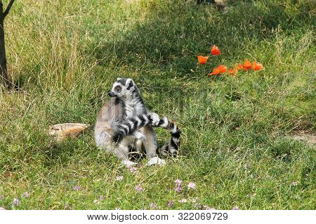 Cute Ring-tailed Lemur (lemur Catta) Sitting And Holding Its Own Tail
