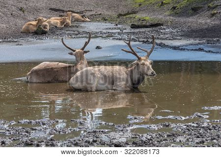 Pere David's Deer, Elaphurus Davidianus, Milu, Elaphure With Characteristic Large Preorbital Glands,