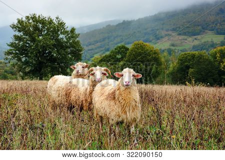 Ram And Two Sheep On The Meadow. Animals Among Weathered Grass. Oak Trees In The Distance. Gloomy Au
