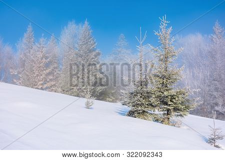 Forenoon Fairy Tail In Winter. Spruce Trees In Hoarfrost On The Snow Covered Meadow. Forest In The D