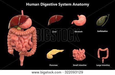 3d Illustration Of Human Digestive System Anatomy