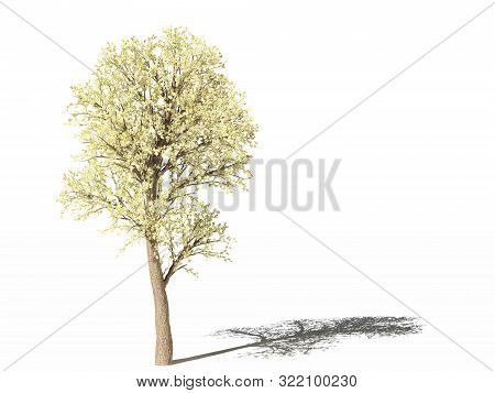 Flowering Pear Tree. Pyrus Communis Or European Pear During Flowering On White Surface With Shadow.
