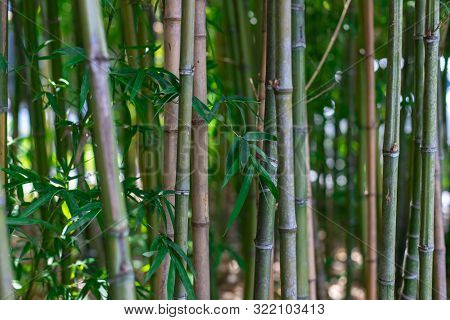 The Stalks Of Bamboo. Green Bamboo Closeup. The Texture Of Bamboo Vegetation.