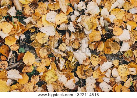 Autumn Leaves. Beautiful Fall Yellow Leaves  On Ground In Forest, Top View. Autumnal Background. Pop