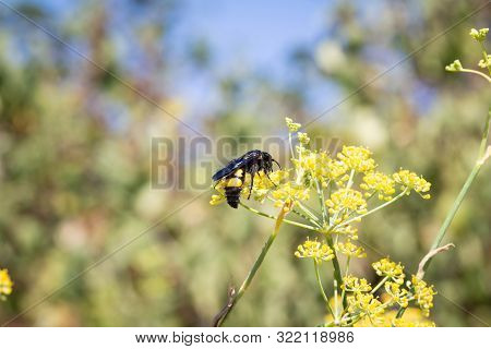 Scolia Hirta Eats Nectar From The Flowers Of A Wild Fennel