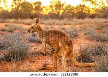 Side View Of Red Kangaroo With A Joey In A Pocket, Macropus Rufus, On The Red Sand Of Outback Centra