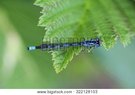 Dainty Damselfly, Coenagrion Scitulum, On Leaf By The River
