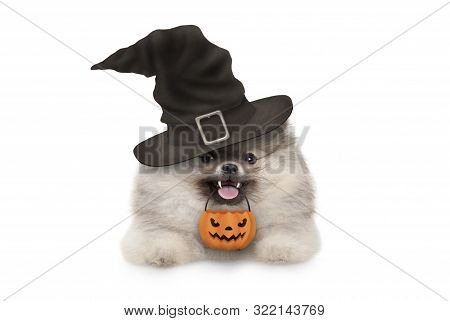 Happy Pomaranian Spitz Halloween Puppy Dog, With Witch Hat And Orange Pumpkin Basket Hanging With Pa