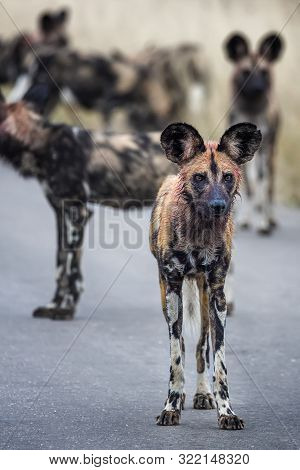 An African Wild Dog With Blood In Its Fur From A Recent Hunt On The Look Out For The Pack, With Othe