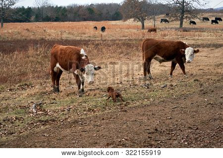 Dog Meeting Cows. Wiener / Dachshund Dog Face To Face With Curious, Cows In A Pasture.