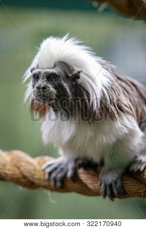 Funny Monkey Tamarin Sits On A Thick Rope. The Coat Is White And Black. Eyes Are Open, Mouth Is Clos