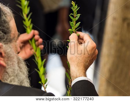 Religious Jew with a gray beard chooses myrtle for the holiday Sukkot. Jewish autumn holiday Sukkot - Feast of Tabernacles. The concept of religious, ethnographic and photo tourism