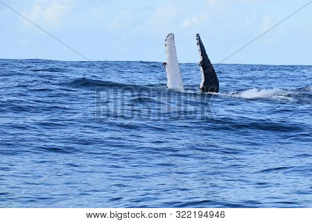 Whale Surfacing On It Back, Extending Pectoral Fins In Ocean Off New South Wales Australia