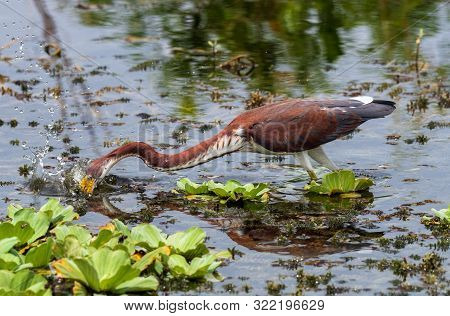 A Tricolored Heron Fishing For Its Lunch.