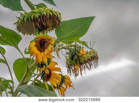 Overblown And Withered Sunflowers At The End Of Their Life Cycle Silhouetted Against A Gray And Clou