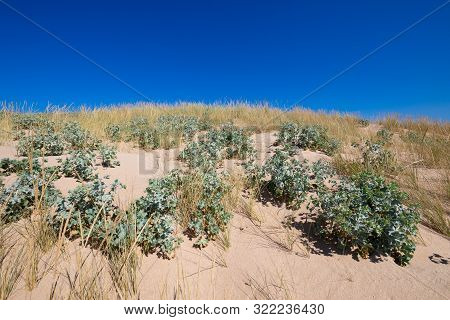 Plants Sea Holly And Beachgrass In Sand Dune