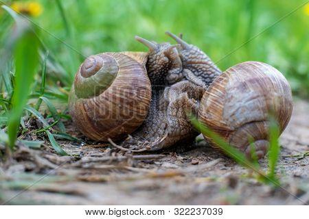 The Roman Snail, Also Called Burgundy Snail, Edible Snail Or Escargot, European Species Of A Large,