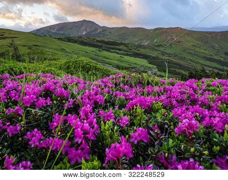 Pink Rose Rhododendron Flowers (close-up) On Evening Sunset Summer Mountain Slope And Pip Ivan Mount