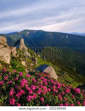 Pink Rose Rhododendron Flowers On Early Morning Summer Mountain Slope, Carpathian, Chornohora, Ukrai