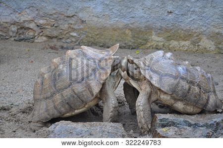 Leopard Tortoise Is The Second Largest Terrestrial Turtle Living In Africa, Males Struggle Together