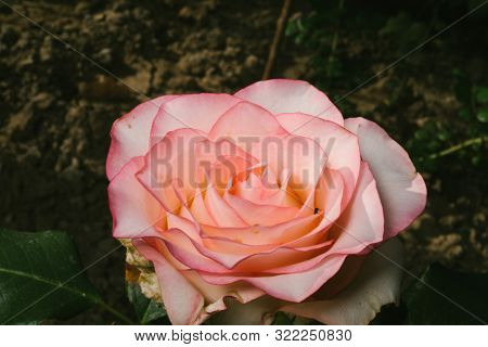Rose Jumilia hybrid tea strain, bred for cutting. poster