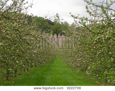 Orchards In Flower