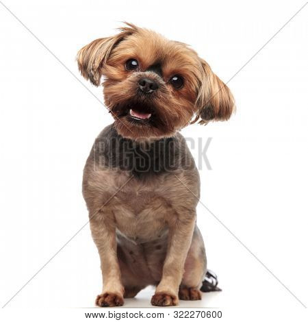 cute yorkshire terrier panting and sitting isolated on white background in studio, full body