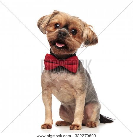 side view of cute yorkshire terrier wearing red bowtie, sticking out tongue, panting, sitting isolated on white background in studio, full body