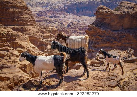 Group Og Goats In Jordanian World Famous Monument In Wadi Musa