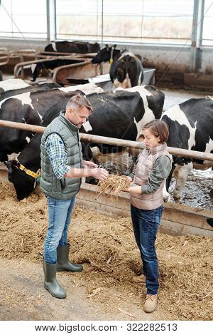 One of young workers of large dairy farm showing her colleague sample of hay for feeding cows and describing its quality