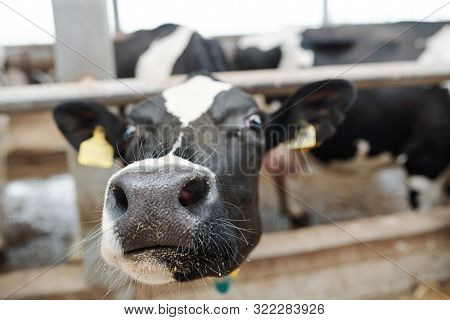 Nose and muzzle of young milk cow looking at you out of fence of cowshed inside large dairy farm