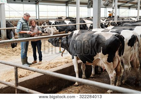Two workers of dairy farm scrolling through online offers of food for livestock while standing by one of cowsheds
