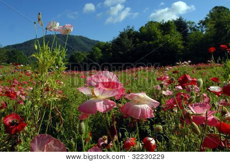 Carolina Poppies