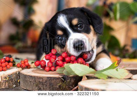 Entlebucher Mountain Dog puppy eats berries;