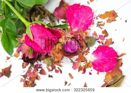 Fresh And Dried Pink Roses With Fractures Of Dried Rose Petals On White Background. Contrast Concept