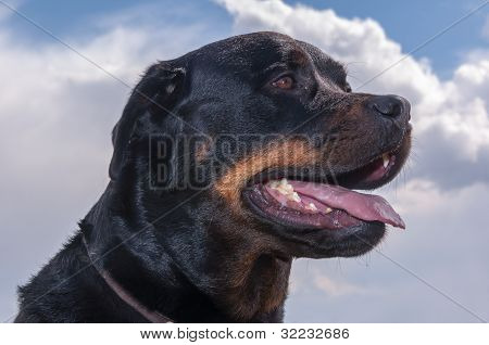 Portrait Of A Rottweiler Dog With Open Mouth