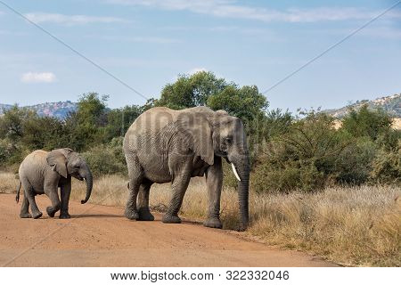 Female Of African Elephant Mother With Baby Crossing Road In Pilanesberg Game Reserve. South Africa