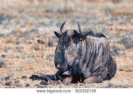 Wild Blue Wildebeest Gnu Resting In Pilanesberg National Park, South Africa Wildlife Safari. Animal