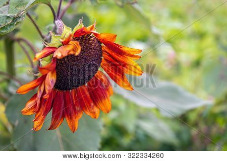 Closeup Of An Orange-red Sunflower With A Brown Heart In The Foreground Of Its Own Natural Habitat.